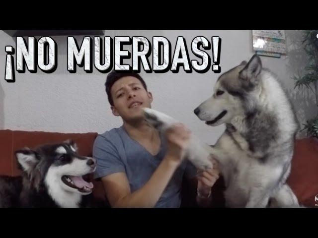 Como Entrenar A Mi Perro Para Que No Muerda Martgon Youtube