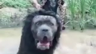Lion Dog Breed