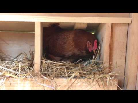 Hen lays first egg 18 weeks! The hens celebrate with an egg song!