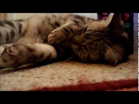 My American Shorthair Cat Chanel アメショーのシャネルちゃん Doovi