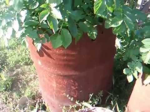 Картошка в мешках СБОР УРОЖАЯ!!! Выращивание картофеля в мешках 4 / Potatoes in bags 4