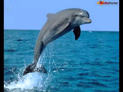 Free Dolphin