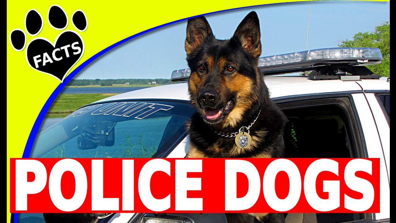 Service Dogs Top 10 Police Dog Breeds Around The World Cop Dogs