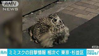 東京・杉並の住宅街にミミズク現る(19/02/16)