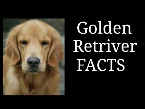 golden-retriver-facts||-in-hindi-||-animals-are-awesome