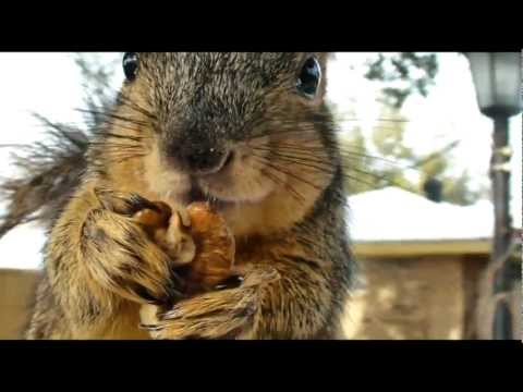 Very close HD of squirrel eating nuts