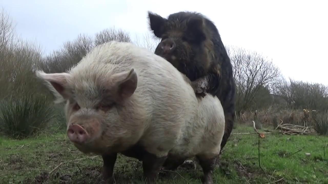 Sex Mit Schwein