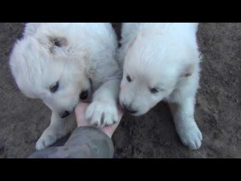 White puppies of the Caucasian sheepdog
