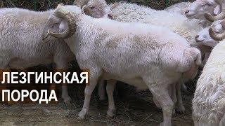 Овцы Лезгинской породы. Выставка Золотая Осень 2017