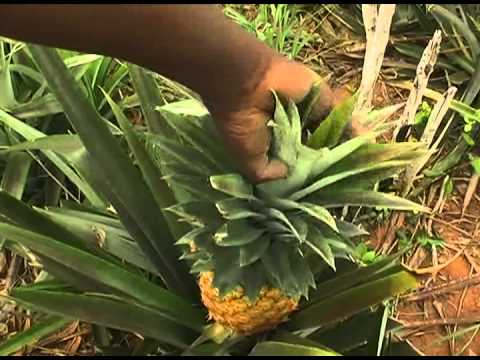 Image Gallery pineapple farmers