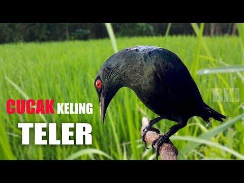 Cucak Keling | Ciperling TELER BERAT Full Isian Dengan Variasi Suara MANTAP Durasi Panjang