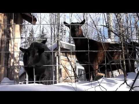 our friend's goats