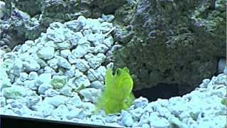 Goby and Pistol Shrimp (Crushed Coral)