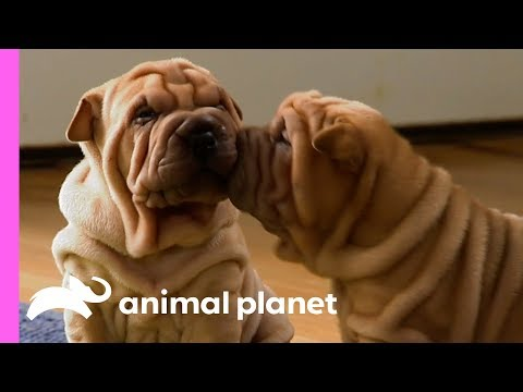These Wrinkly SharPei Pups Are Learning To Be The Best Guard Dogs! | Too Cute!