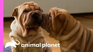 These Wrinkly Shar-Pei Pups Are Learning To Be The Best Guard Dogs! | Too Cute!