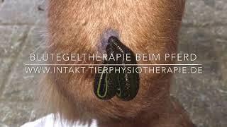 Blutegeltherapie beim Island Pony