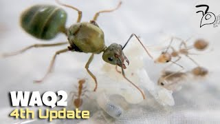 Weaver Ant Queen (Oecophylla smaragdina) | 4th Update | NANITIC WORKERS