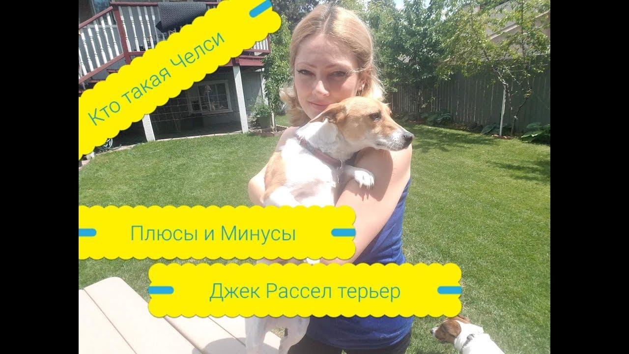 """О ПОРОДЕ Джек Рассел терьер """"Плюсы и Минусы"""" Собака в доме ..."""