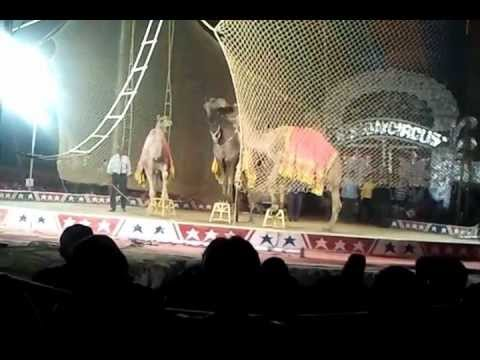 Bombay circus - camels