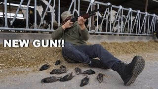 shooting-starlings-on-the-dairy-farm-invasive-species