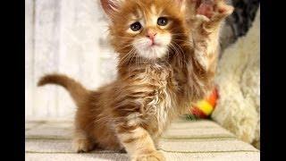 Запись трансляции котят Мейн Кунов. 12 Декабря