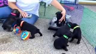 Standard Schnauzer Puppies For Sale Oh 4 1/2 Weeks Old 9-19-15 * Lilly & Black Jacks Litter