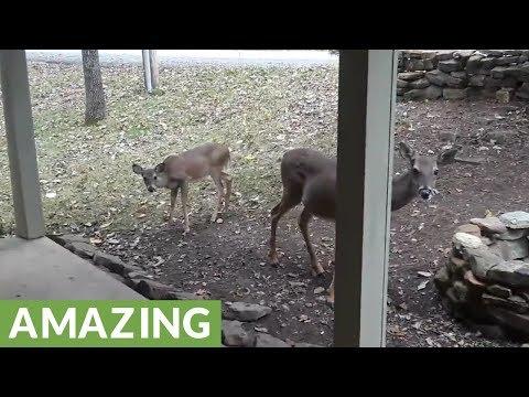 Caretaker trains new addition to her deer herd
