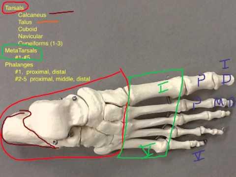 Foot Bones Walkthru
