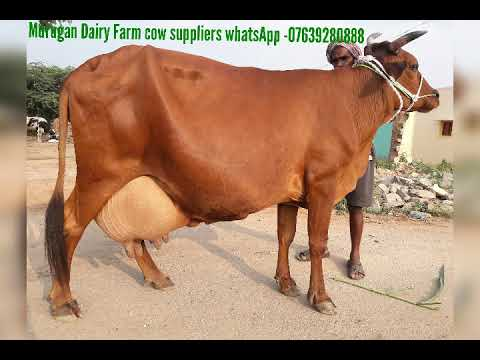 HF,Jersey cows(20 to 30 litres ) available in Tamilnadu,Kerala,Andhra