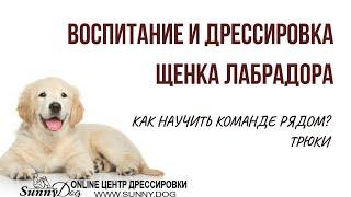Воспитание и дрессировка щенка лабрадора. Как научить щенка ходить Рядом? Трюковая дрессировка