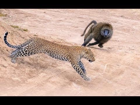 驚險!狒狒突襲花豹 Thrilling! Baboon raid leopard