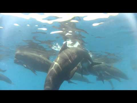 IFAW Song of the Whale - Pilot whales ride along - Mediterranean Sail