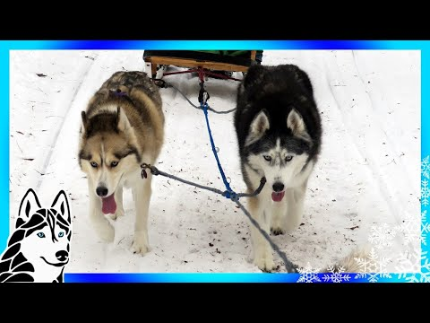 DOG SLEDDING ADVENTURE | Dog Vlog | Mini Iditarod