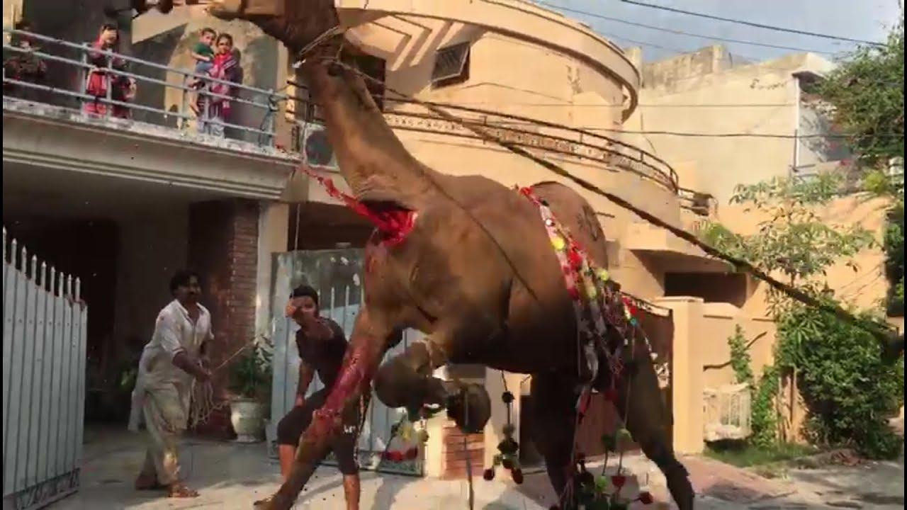 Download Dangerous camel qurbani with professional qasai. (part)#1