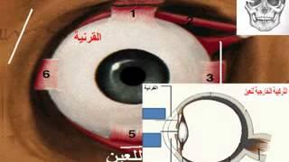 درس تركيبة العين