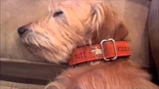Brutus, The Long/wire-hair Dachshund Has A Dream.