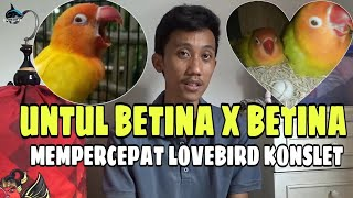Download lagu CARA AMPUH AGAR LOVEBIRD BETINA CEPAT KONSLET