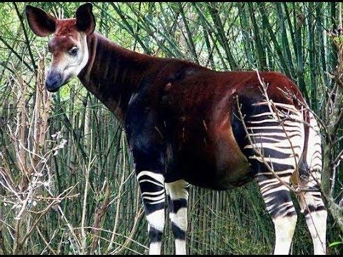 The Okapi The Forest Giraffe Or Zebra Giraffe Rare African