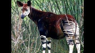 The Okapi (the forest giraffe or zebra giraffe) - Rare African Animal