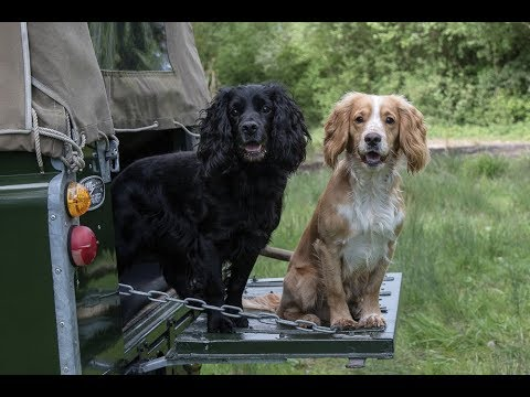 Rough Shooting With Cocker Spaniels
