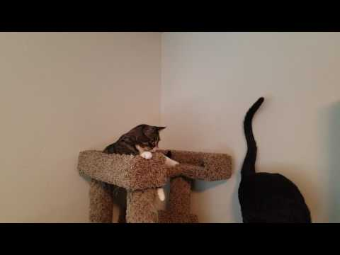 Lena cat protecting her perch from Bandit!