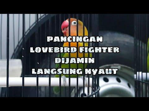 Lovebird Fighter Mbah Gandul Ngekek Panjang