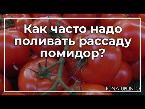 Как часто надо поливать рассаду помидор? | toNature.Info