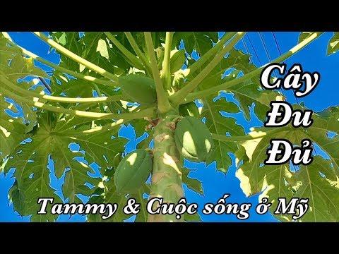 Vườn Trái Cây Sau Nhà - Cây Đu Đủ Ra Trái - Cuộc sống ở Mỹ (Papaya)