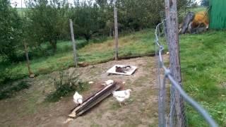 Kury i kaczki ozdobne 😊
