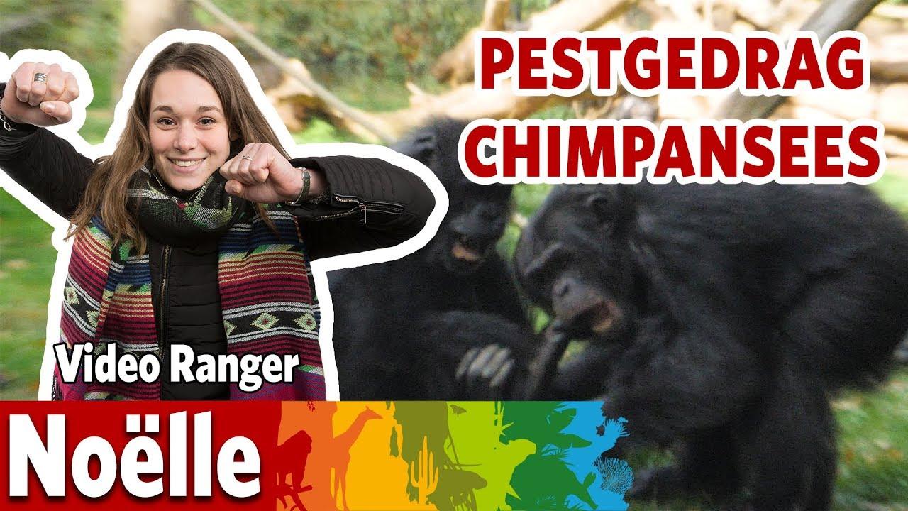 Pesten chimpansees elkaar?