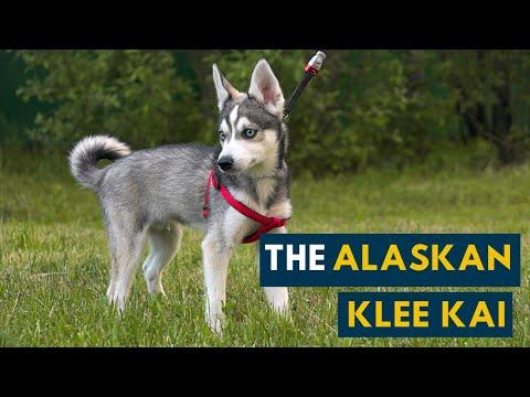 The Alaskan Klee Kai: A Smaller Husky?