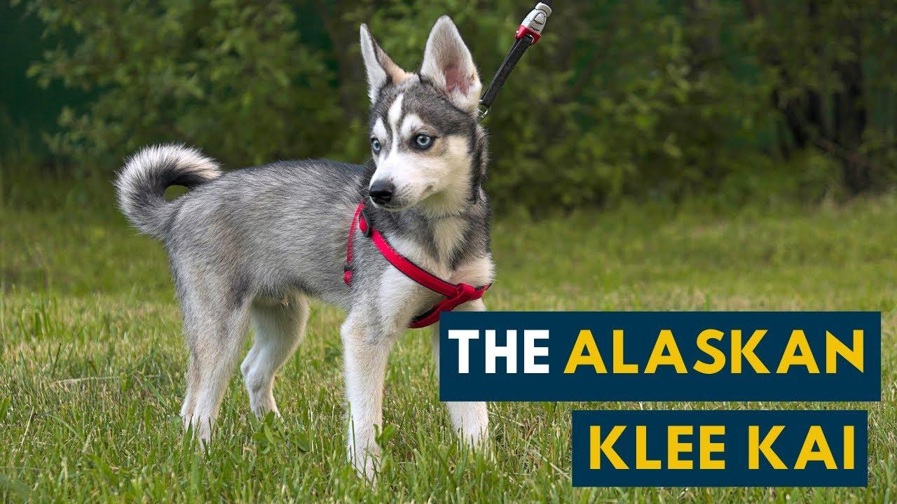 The Alaskan Klee Kai A Smaller Husky