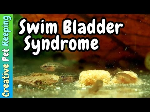 Baby Betta Swim Bladder Syndrome And What Is Culling Fry