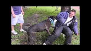 Protection Trained Dog!  Immediate Response To Commands Is The Key To Control!